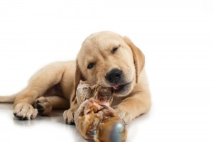 Hund mit Barf-Knochen