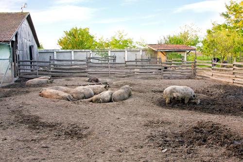Schweine BARF Hundeernährung