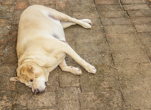 Übergewicht beim Hund ist genauso schädlich wie beim Menschen. Deswegen sollten ein zu dicker Hund unbedingt abspecken - aber bitte nicht mit FDH