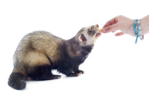 Auch Frettchen können nach dem Barf-Prinzip gefüttert werden