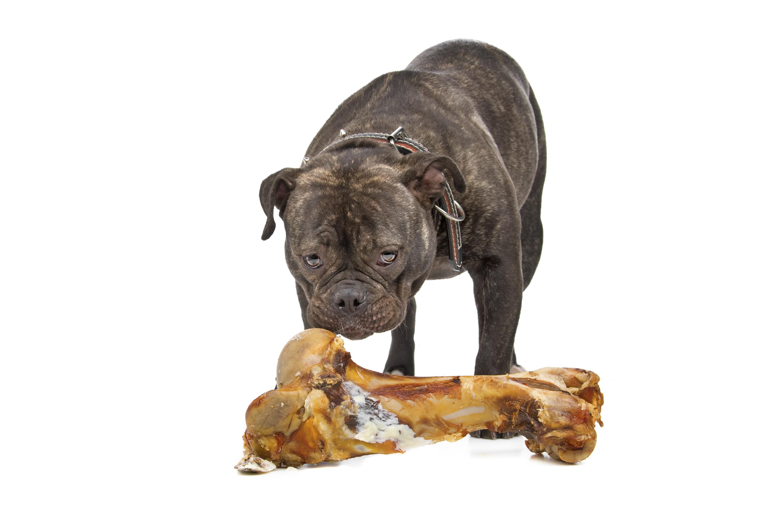 Schwarze Billdogge vor Fleischknochen