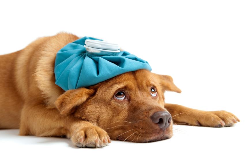 Hund mit Wärmflasche auf dem Kopf