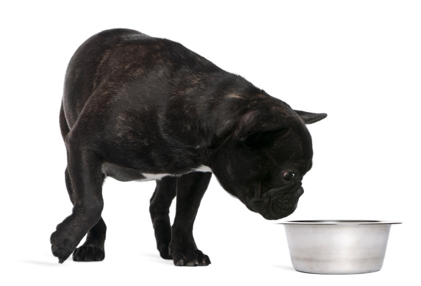 Bulldoge mit Napf