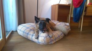 Sammy auf dem Hundekissen