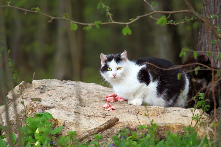 Katze mit Fleisch