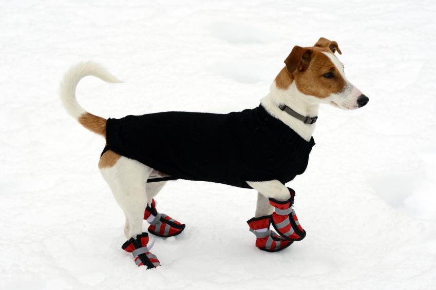 Terrier mit Mantel und Schuhen