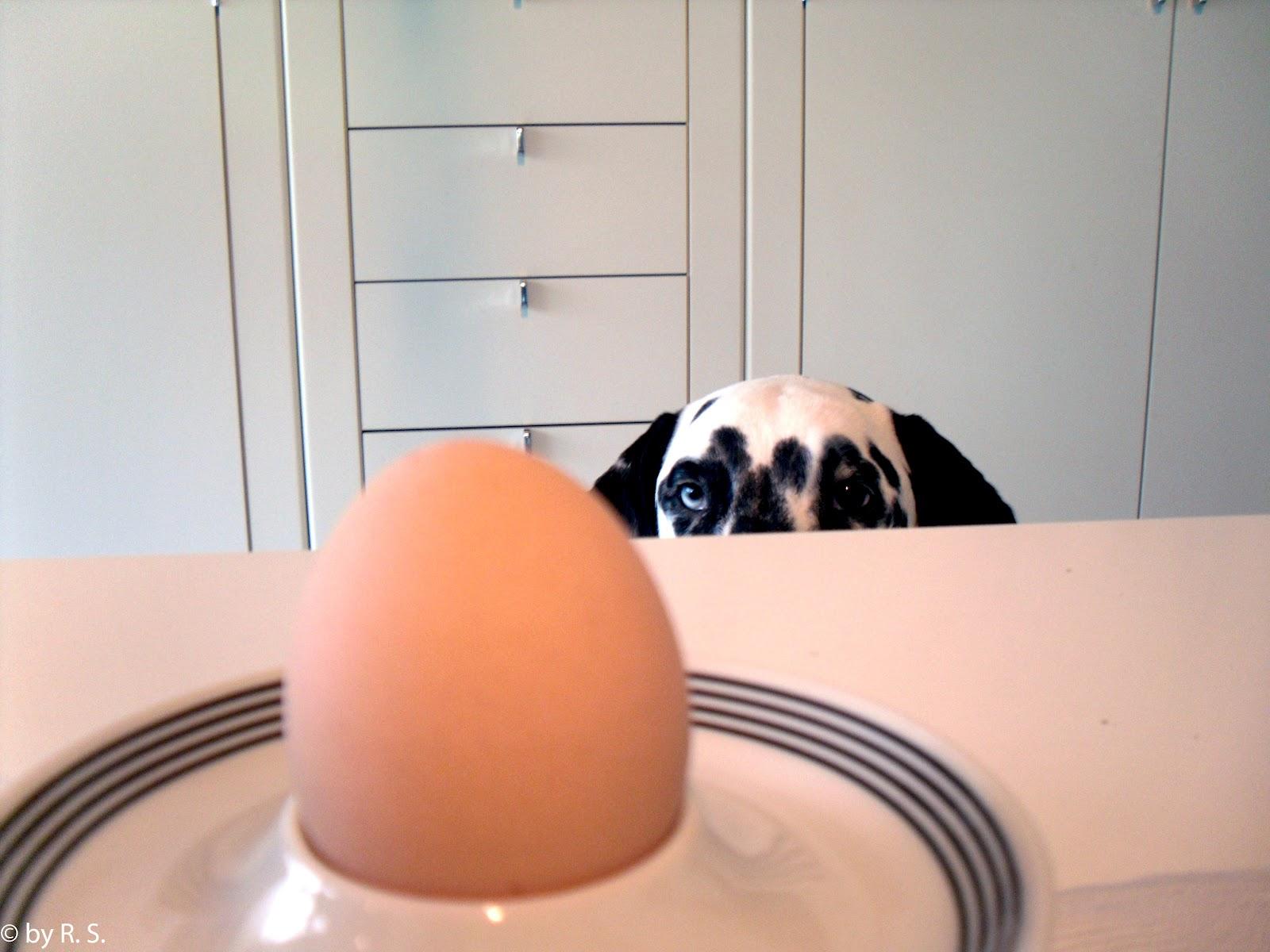 Dalmatiner bettelt am Tisch