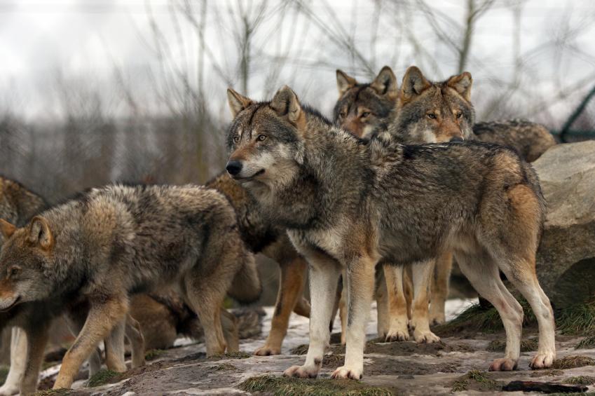 Ein Rudel Wölfe