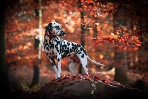 Dalmatiner im Wald Herbst
