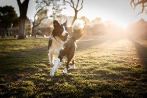 Hund abnehmen mit BARF und Bewegung